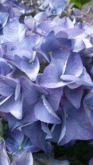 Hydrangea, Brittany, Flowers, Blue