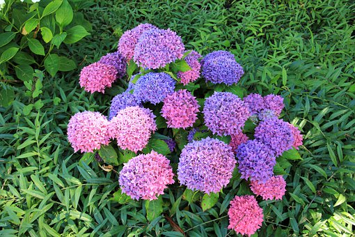 Plant, Flower, Blossom, Bloom, Red, Blue, Hydrangea