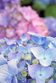 Hydrangea, Blossom, Bloom, Blue, Inflorescence, Flora
