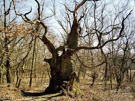 Old Tree, Baltic Sea, Rügen, Lauterbach, Island Vilm