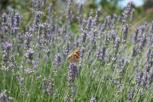 Lavender, Flower, Purple, France, Plant, Blossom, Bloom