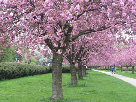 Cherry Blossom, Red, Avenue, Pink, Tender, Spring