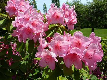 Rhododendron, Pink, Flower, Beautiful Flower, Blossom