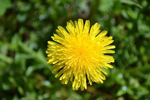 Dandelion, Flowers, Image, Nature, Plants, Garden