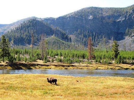 Yellowstone, Bison, Yellowstone National Park, Wyoming