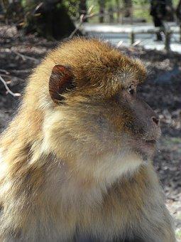 Portrait, Monkey, Barbary Ape, Animal, Animal Portrait