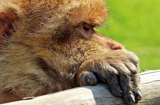Barbary Ape, Monkey, Primate, Animal, Portrait, Nature
