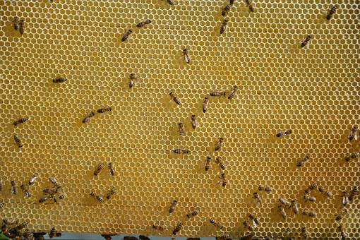 Honeycomb, Honey, Sweet, Bees, Young Bee, Apiary