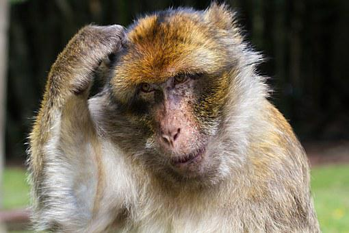 Barbary Ape, Monkey Mountain, Salem, Look, Thoughtful