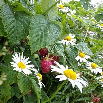 Raspberry, Chamomile, Summer, Dacha, Handsomely, Greens