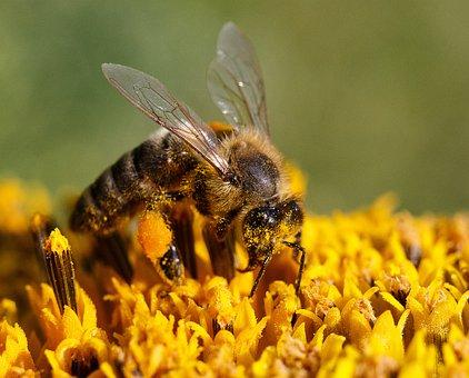 Bee, Honey, Collect, Flower, Pollen, Macro, Summer