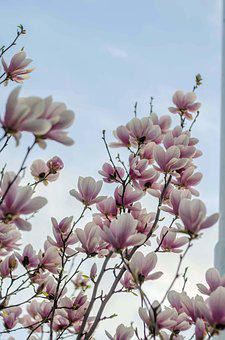 Magnolia, Sky, Tree, Green, White, The Buds, Closeup