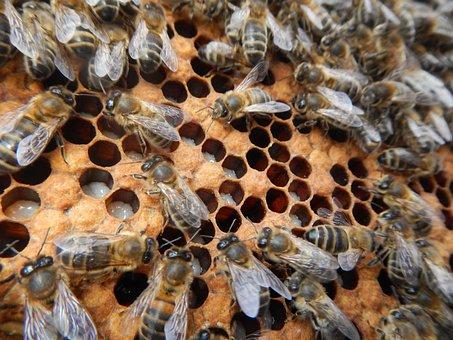 Bees, Larvae, Breeding, Honeycomb, Beekeeper