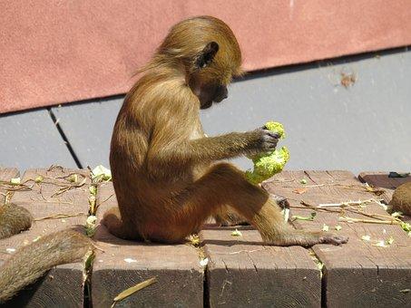 Monkey, Barbary Ape, Macaca Sylvanus, Mahogany