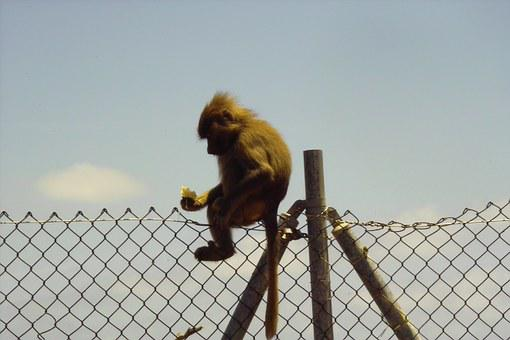 Monkey, Zoo, Nature, Baboon, Creature, Mammal, Funny