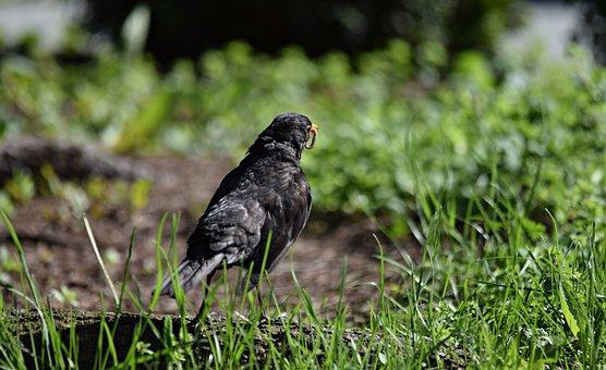 Starling, Bird, Nature, Singing, Ornithology, Grass