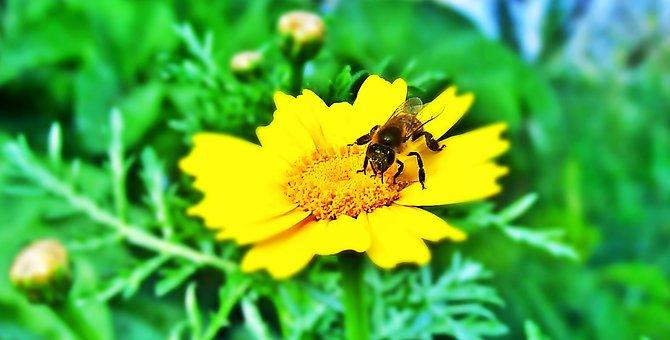Bee, Flower, Yellow, Nature, Insect, Honey, Nectar