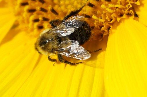 Sunflower, Bee, Insect, Pollinator, Beekeeper, Farm