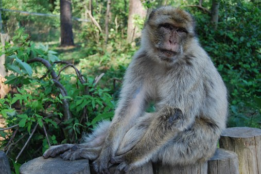 Monkey, Barbary Ape, Portrait, Monkey Forest