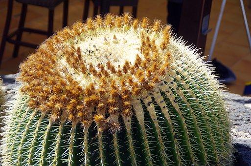 Lanzarote, Cactus, Quills, Flower Buds