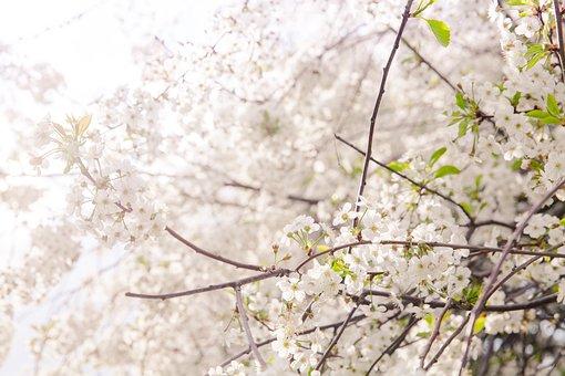 Flowers, Sakura, Flowering Tree, Trees, Bloom, Tree