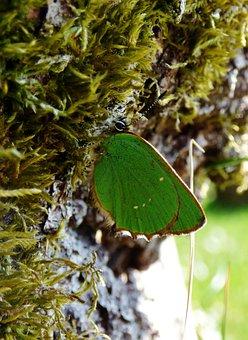 Butterfly, Green Butterfly, Freshman, Bug, Wings