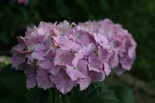 Flower, Garden, Hortenzia