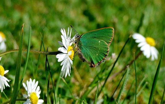 Freshman, Butterfly, Green Butterfly, Daisy