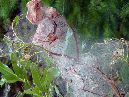 Spider Webs, Covered, Tree, Cobweb, Insect, Creepy