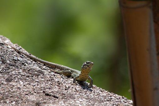 Lizard, Family, Squamata, Reptile, Bamboo