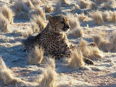 Cheetah, Namibia, Safari, Africa, Cat, Big Cat