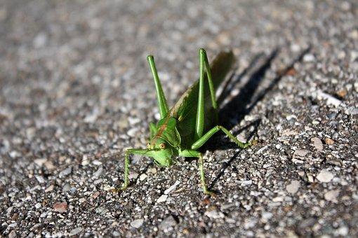 Grasshopper, Insect, Creature, Close, Grasshopper Flip