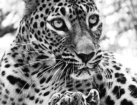 Jaguar, Cat, Beast, Animal, Zoo, Mammal