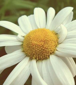Flower, Magarite, Daisy, Garden, Summer, Leaves, White