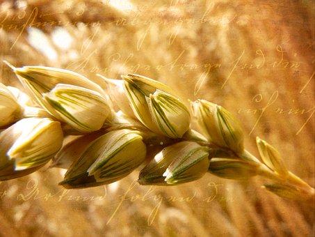 Wheat, Ear, Grain, Cereals, Sunlight, Close Up