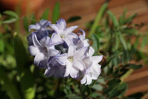 Hyazinth, Flower, Blue, Flowers, Close Up, Violet