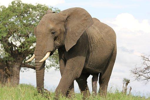 Africa, Tanzania, Trangire, Elephant, Wild Animal
