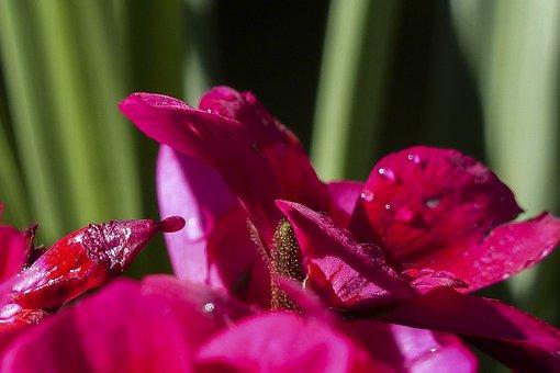 Geranium, Pink, Flower, Garden, Plant, Macro, Close-up