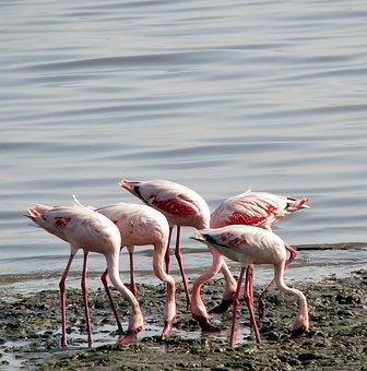 Flamingos, Group, Birds, Pink, Eating, India, Animals