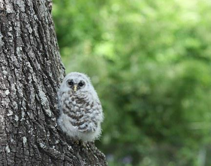 Owl, Owlette, Bird, Wildlife, Nature, Young