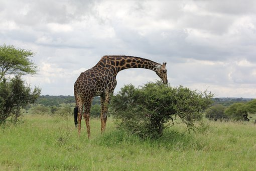 Africa, Tanzania, Trangire, Giraffe, Wild Animal