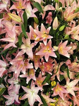 Flowers, Texture, Lily, Yuri, White, Pink