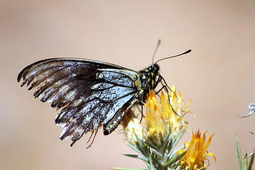 Mountain, Chile, Elqui, Butterfly