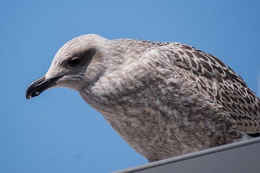 Skua, Seagull, Bird, Water Bird, Coast, Seevogel, Close