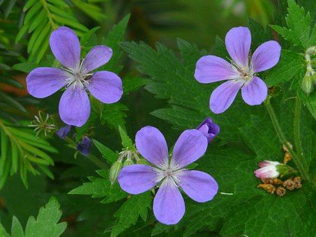 Cranesbill, Blue, Flower, Blossom, Bloom, Plant, Flora