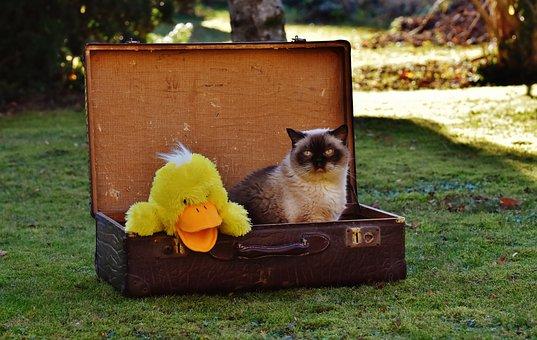 Luggage, Antique, Cat, British Shorthair, Duck, Funny