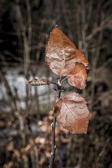 Leaves, Winter, Leaf, Iced, Tree, Nature, Plant