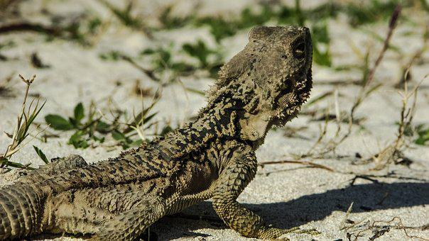 Armor, Lizard, Kurkutas, Reptile, Fauna, Animal