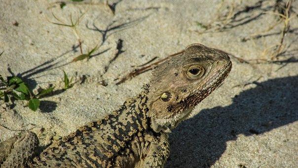 Lizard, Kurkutas, Reptile, Fauna, Animal, Wildlife