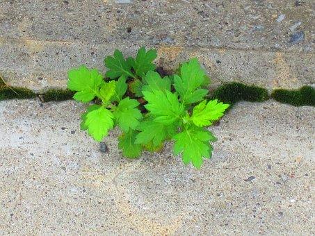 Weed, Little Leaves, Green, Sidewalk